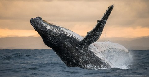 A humpback whale leaps out of the ocean.