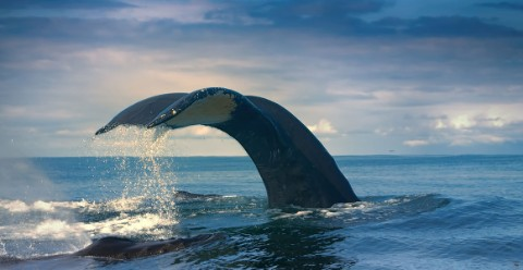 A humpback whale tail