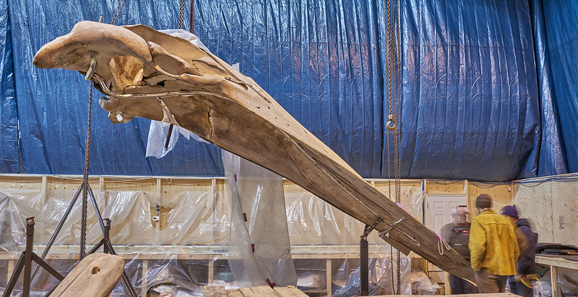 The whale skull in an off-site warehouse