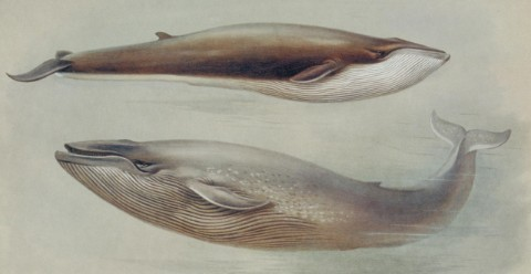Illustrations of a blue whale and a fin whale.