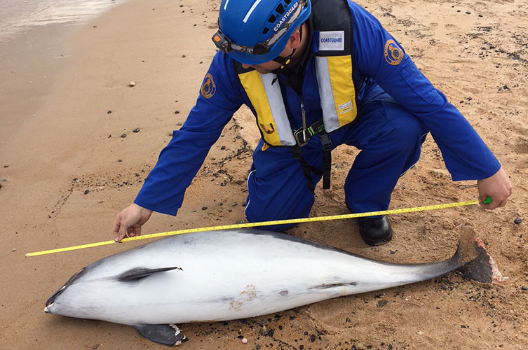 Harbour porpoise stranded on a beach being measured