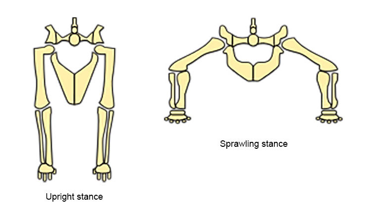 Diagram showing the difference between an upright stance and a sprawling stance