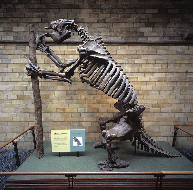The full Megatherium skeleton cast standing on its hind legs