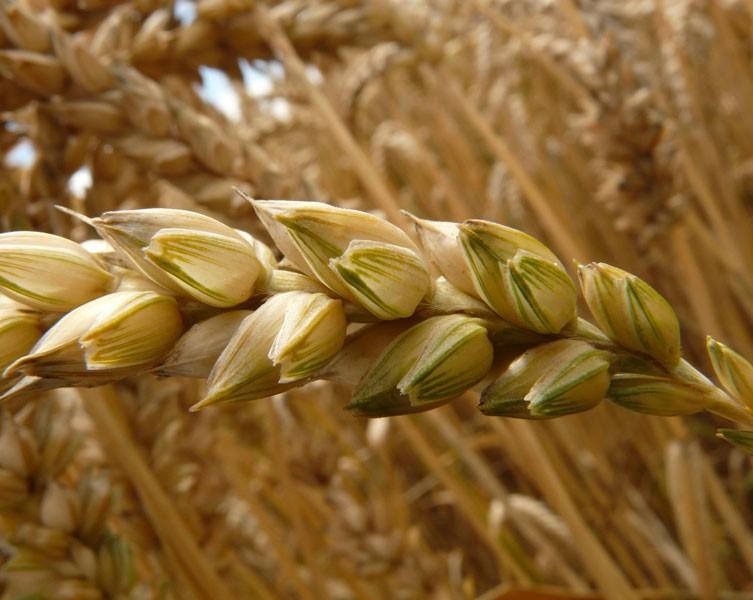 A wheat sheaf