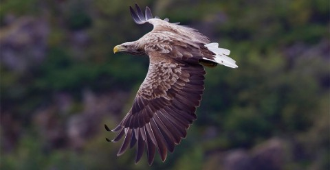 An adult white-tailed eagle in Norway, showing characteristic long, broad, fingered wings, heavy bill and short wedge-shaped tail.