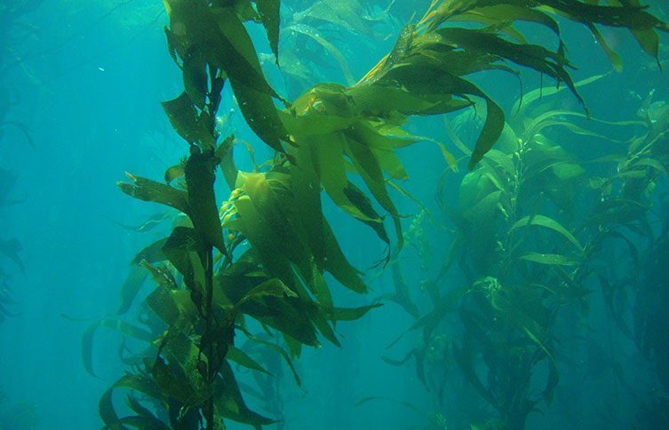 Underwater forest of giant kelps