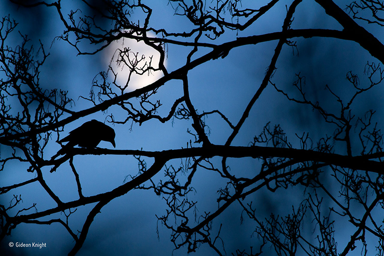 The Moon and the crow © Gideon Knight