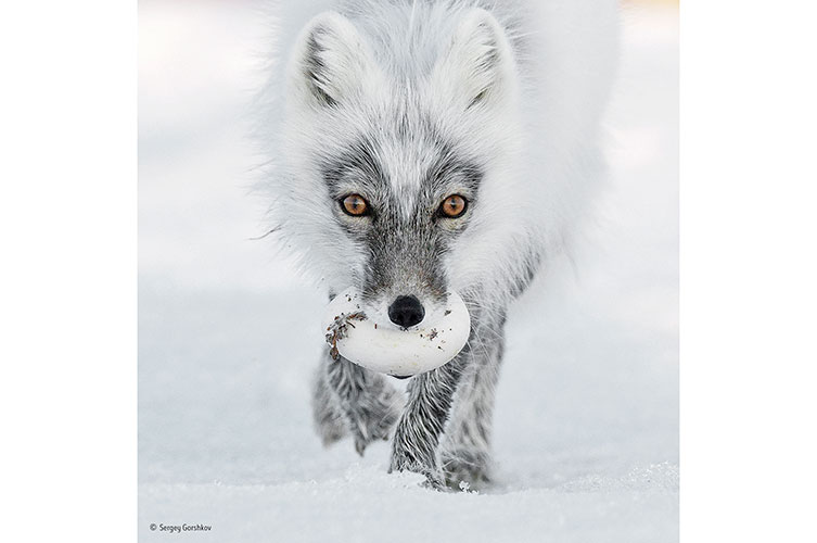 The Arctic fox with an egg