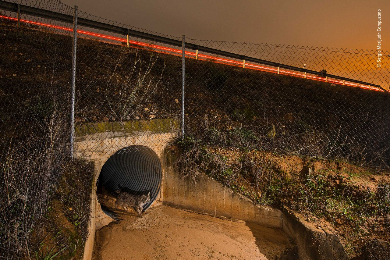 A photograph of a lynx emerging from a tunnel which has been built beneath a busy highway