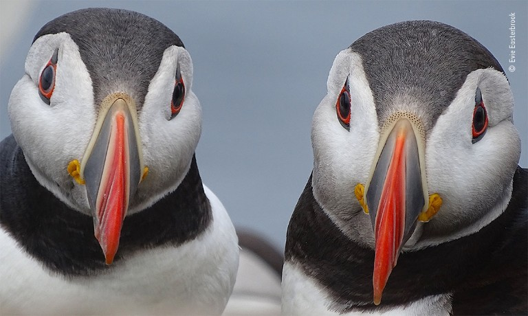 A pair of puffin faces