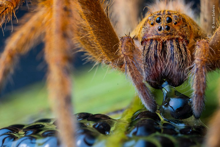 A large, hairy spider pierces a translucent frog egg.