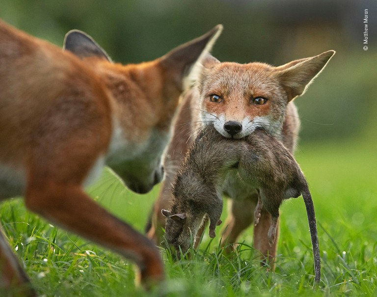 A fox stares defensively at its sibling as it holds a dead rat in its mouth