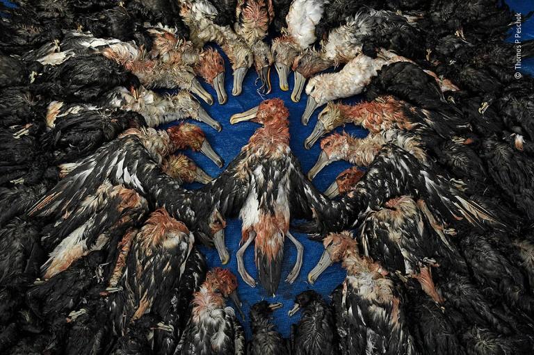A collection of dead sea birds lie arranged on a table.