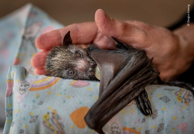 An orphaned grey-headed flying fox rests at a wildlife shelter.