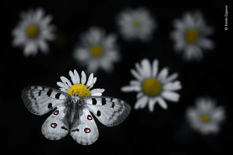 A black and white butterfly lands on a white flower
