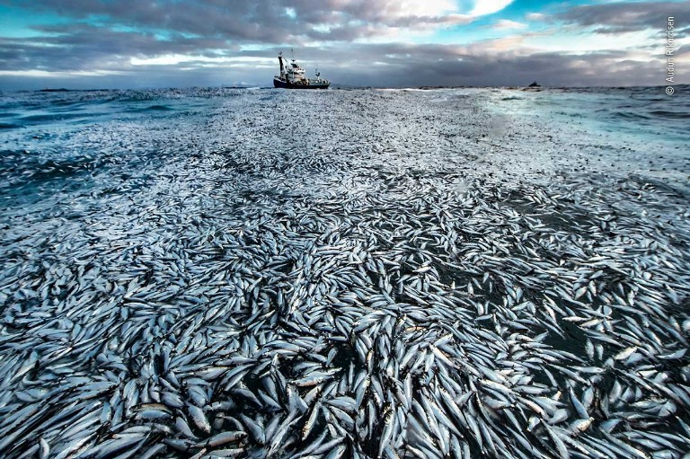 Thousands of dead fish float on the surface of the sea with a fishing boat visible on the horizon.