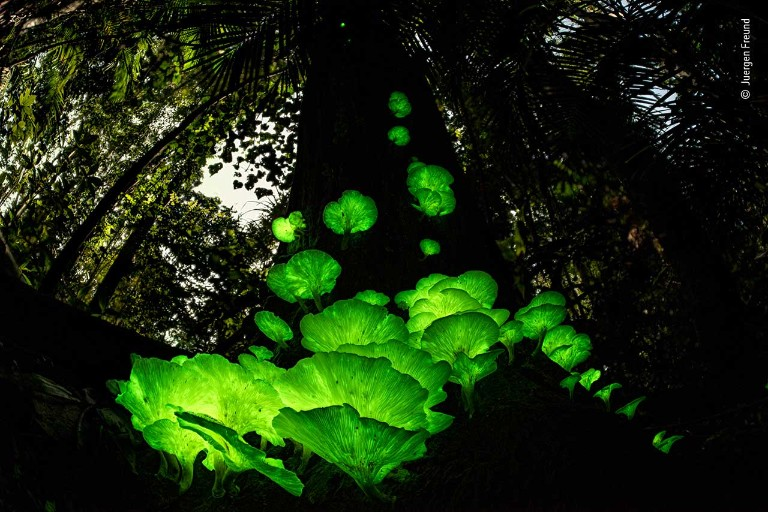 A bloom of fungus sprouts from a tree glowing bright green