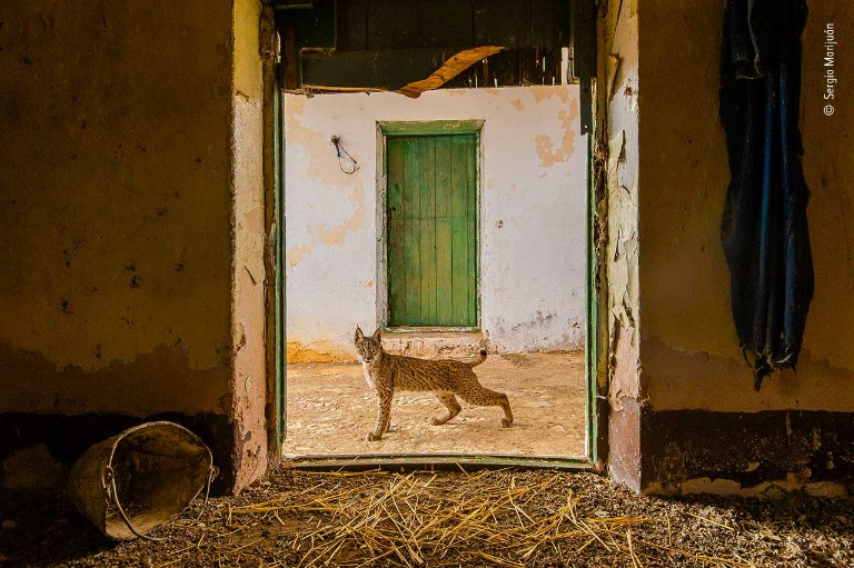 A photo of a lynx in a doorway