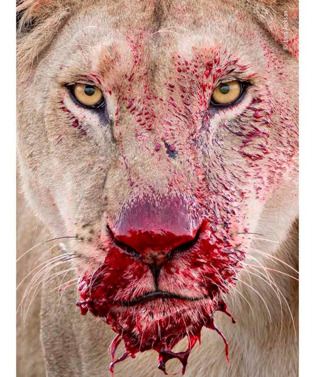 A portrait of a lion with blood dripping from it's mouth.