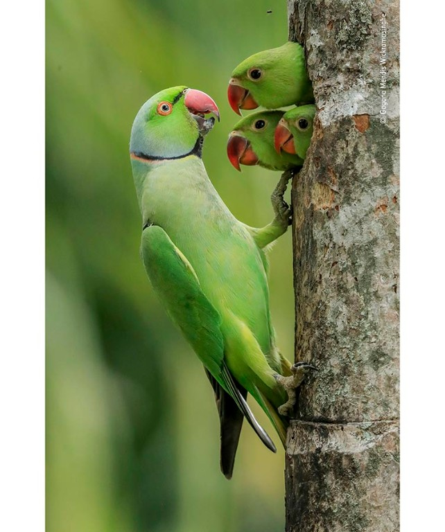 Three parakeet chicks poke their head out of a hole in a tree trunk to greet their father who perches outside.