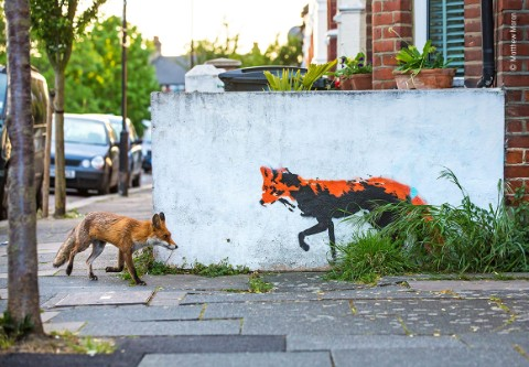 An image of a fox and a stencil of a fox on a street in North London.