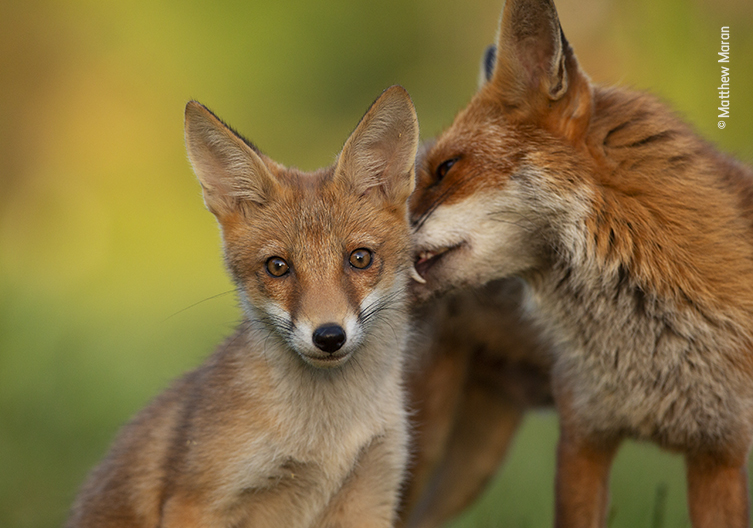 two-foxes-two-collumn