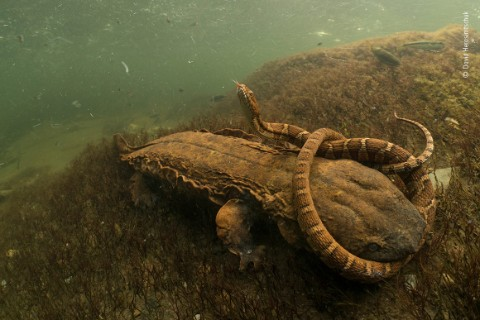 Hellbender and snake under water