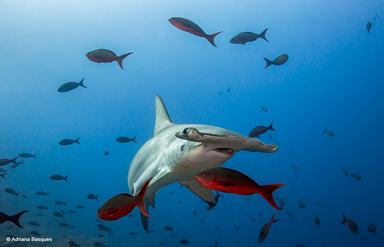 Hammerhead shark and fish