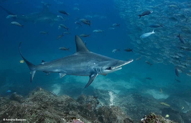 Hammerhead shark © Adriana Basques