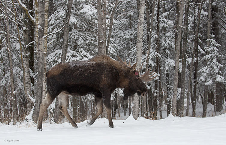 The large bull moose, Hook