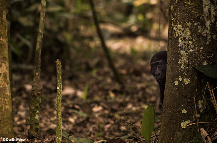 A Western lowland gorilla peeking out from behind a tree