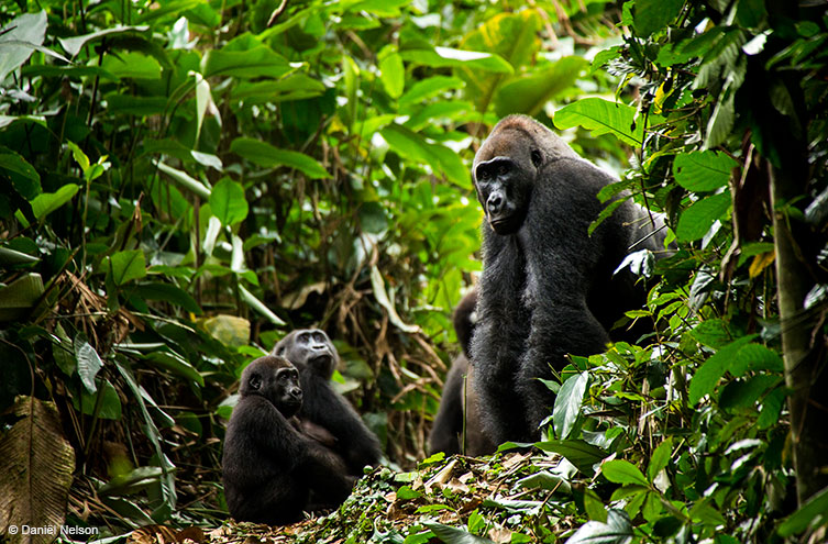 One adult and two young gorillas in the rainforest