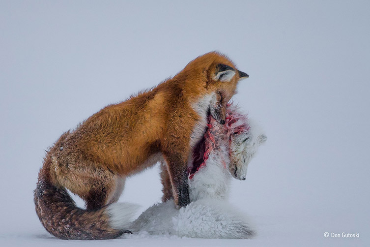 A tale of two foxes © Don Gutoski