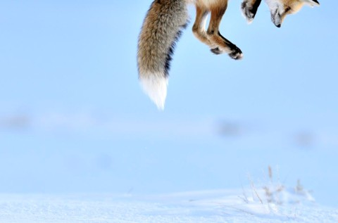 Snow pounce © Richard Peters