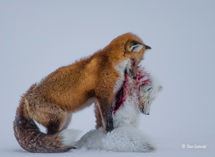 Tale of two foxes. A red fox preys on an Arctic fox in this year's winning photograph. © Don Gutoski - See more at: http://www.nhm.ac.uk/about-us/news/2015/october/wildlife-photographer-of-the-year-2015-16-winners-announced.html#sthash.qZHqcs80.dpuf