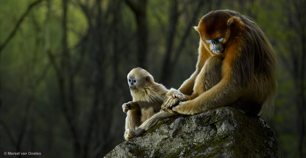 Baby snub-nosed monkey with its parent