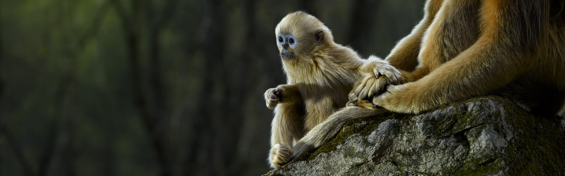 baby-snub-nosed-monkey-hero