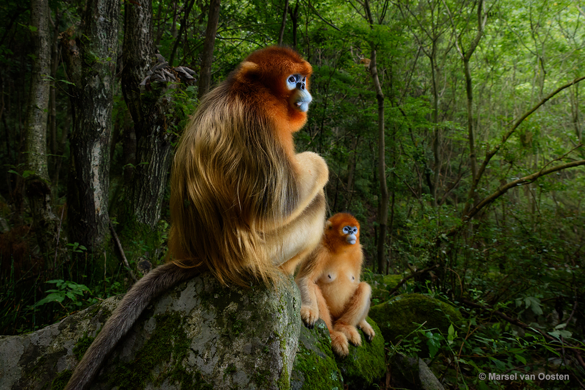 Two golden snub-nosed monkeys sitting in a forest