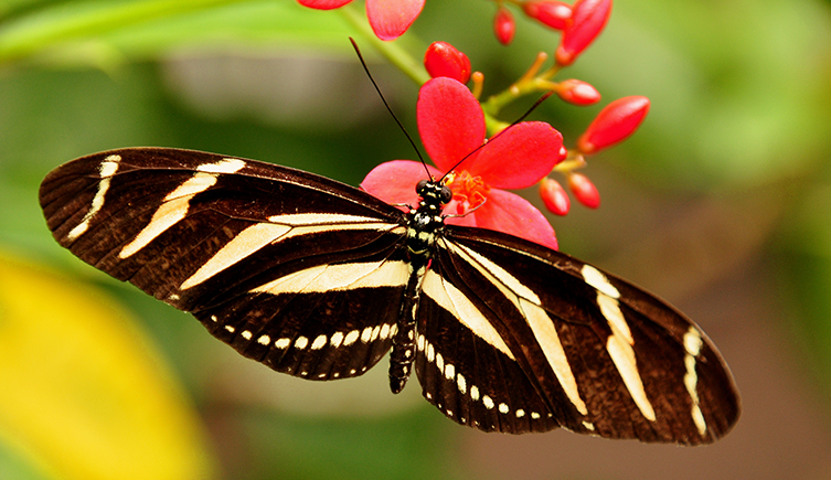 A zebra butterfly feeding