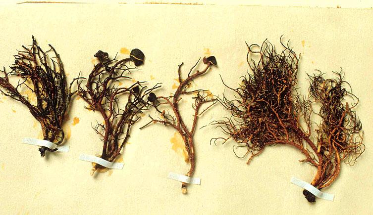 Linchen Specimens