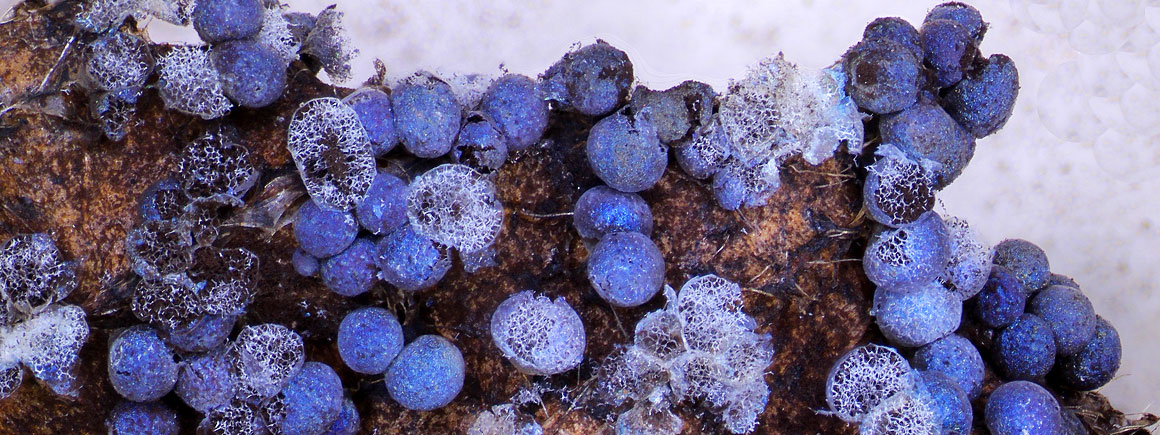 Type specimen of the slime mould Badhimia foliicola
