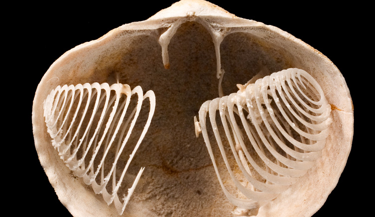 what is a brachiopod and why you should care kristina barclay