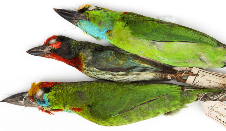 Barbets collected by Wallace