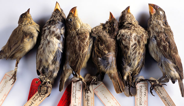 Six finches collected by Darwin on the voyage of HMS Beagle laying side by side.