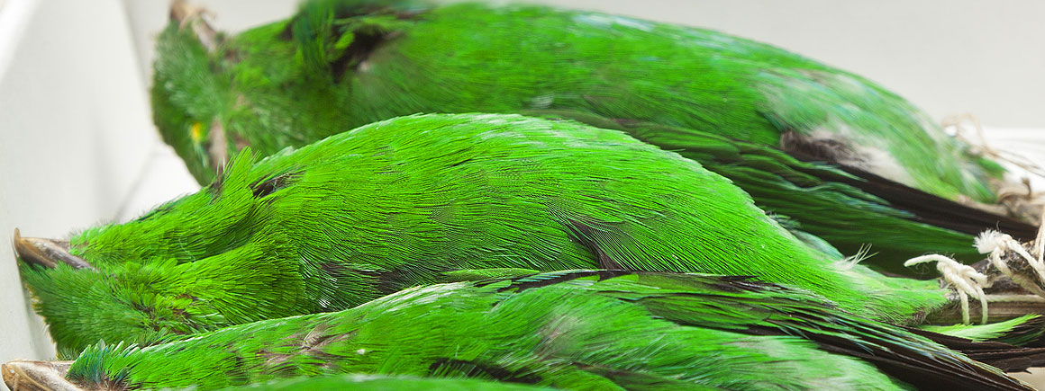 Study skins of green broadbill
