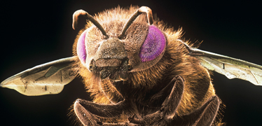 Scanning electron microscope image of a honeybee