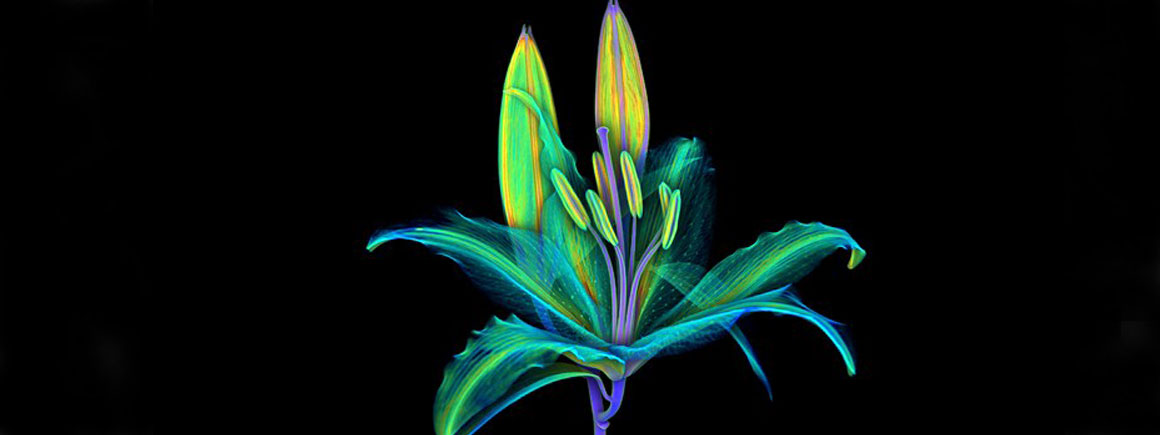 Lily imaged using computed tomography (CT) scanning