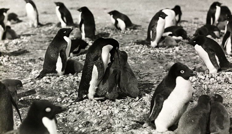 Adélie Penguins feeding their young<br>