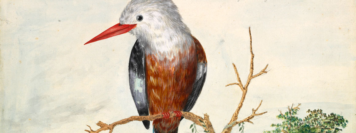 Halcyon leucocephala, grey-headed kingfisher