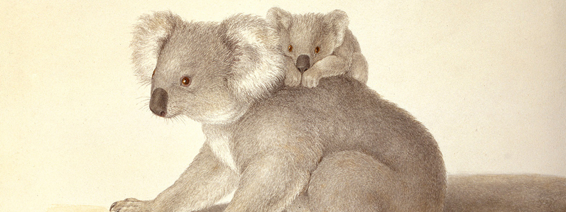 A watercolour of two koalas
